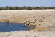 Großer Kudu-Böcke (Tragelaphus strepsiceros). Etosha National Park