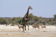 Giraffe umringt von Grossen Kudus. Etosha NP