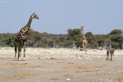 Giraffen, Grosser Kudu-Weibchen. Etosha NP