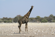 Älterer Giraffen-Bulle. Etosha National Park