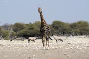 Giraffen-Bulle vor zwei Spiessböcken. Etosha NP