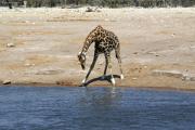 Giraffe an einer Wasserstelle. Etosha National Park