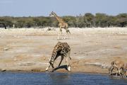 Giraffen und Kudus an einer Wasserstelle. Etosha National Park