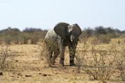 Elefantenbulle. Etosha National Park