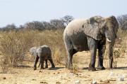 Elefantendame mit Kalb an einer Wasserstelle im Osten des Etosha Nationalparks