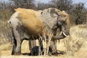 Elefant gönnt sich eine Staubdusche. Etosha National Park