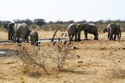 Elefantenherde und Glanzstare an einer Wasserstelle im Osten des Etosha Nationalparks