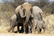 Elefanten beim Kuscheln an einer Wasserstelle im Osten der Etosha-Nationalparks
