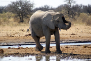 "Elefant macht ""Joga"". Elefanten können stehend dösen."