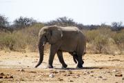 Junger Elefantenbulle. Etosha National Park