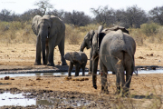 Elefantenfamilie mit Kalb. Etosha National Park