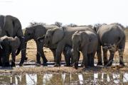 Elefantenherde mit Kalb beim Säugen. Etosha National Park