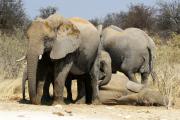 Elefanten bei ihrer Mittagsrast  an einer Wasserstelle im Etosha National Park