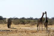 Elefant, misstrauisch beäugt von zwei Giraffen. Etosha National Park