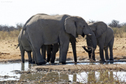 Elefanten (Loxodonta africana). Etosha National Park
