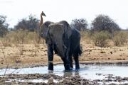 Elefantenbulle nimmt ein Schlammbad (Loxodonta africana). Etosha National Park