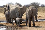 Elefantenfamilie (Loxodonta africana) an einer Wasserstelle im Osten des Etosha Nationalparks