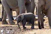Elefantenkalb an einer Wasserstelle im Osten des Etosha Nationalparks
