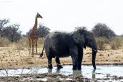 Giraffe und Elefant an einer Wasserstelle. Etosha National Park