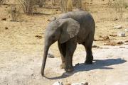 Elefantenkalb. Etosha Nationalparks