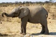 Junger Elefant. Etosha National Park