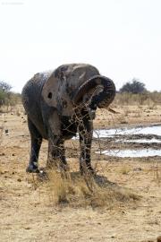 Elefantenbulle (Loxodonta africana). Etosha National Park