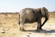 Elefant nimmt eine Staubdusche. Etosha National Park