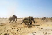 Elefantenherde in Panik! ...