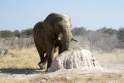 """Elefantenjoga"" an einem Termitenhügel. Etosha National Park"