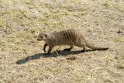 Zebramanguste (Mungos mungo). Namutoni. Etosha National Park