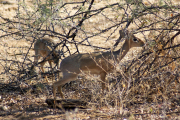 Kirk-Dikdiks (Madoqua kirki). Etosha National Park