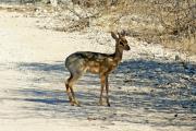 Kirk-Dikdik (Madoqua kirki). Etosha National Park