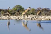 Drei Giraffen an einer Wasserstelle im Osten des Etosha Nationalparks