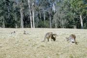 Östliche Graue Riesenkänguru (Macropus giganteus)