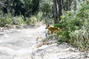 Fraser Island, Dingo (Canis lupus dingo)