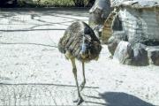 Grosser Emu (Dromaius novaehollandiae), Magnetic Island