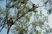 Koalas (Phascolarctos cinereus), Magnetic Island