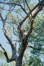 Koala (Phascolarctos cinereus), Magnetic Island