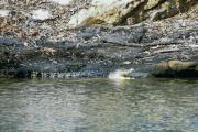 Leistenkrokodil (Crocodylus porosus), Kakadu National Park