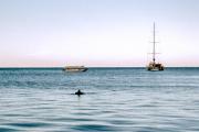 Shark Bay. Monkey Mia. Delphin (Delphinidae)