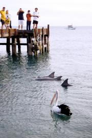 Shark Bay. Monkey Mia. Delphine (Delphinidae) mit Brillenpelikan (Pelecanus conspicillatus)