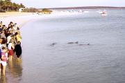 Shark Bay. Monkey Mia. Delphine (Delphinidae)