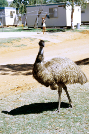 Exmouth. Grosser Emu (Dromaius novaehollandiae) im Camp