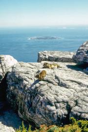 Klippschliefer (Procavia capensis). Tafelberg, Cape Town