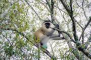 Südliche Grünmeerkatze (Chlorocebus pygerythrus)