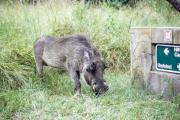 Warzenschwein (Phacochoerus africanus)
