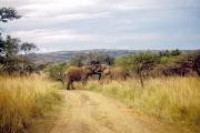Junge Afrikanische Elefanten (Loxodonta africana)