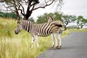 Steppenzebras (Equus quagga)