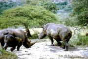 Breitmaulnashörner (Ceratotherium simum)