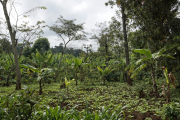 Bananenbäume der Chagga bei Marangu